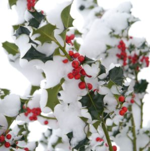 Holly Berries on a Snowy Branch